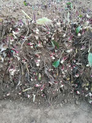 河南省商丘市虞城县红矮美人蕉 20cm以上 0.5米以下