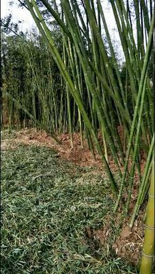 这是一张关于四季青竹的产品图片