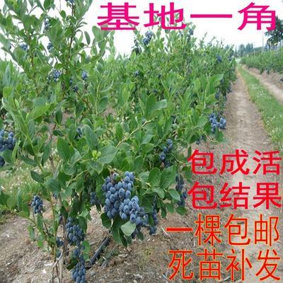 这是一张关于夏普蓝蓝莓苗的产品图片