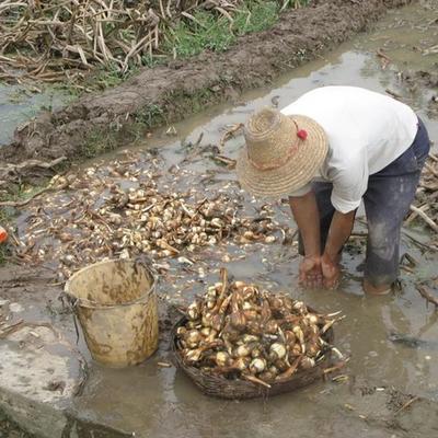 这是一张关于白肉慈菇 混装通货的产品图片