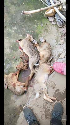 江西省上饶市信州区野兔肉 新鲜