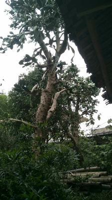 广西壮族自治区桂林市全州县食用仙人掌 20~30公分