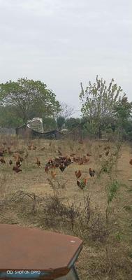 浙江省衢州市龙游县土鸡  2-3斤 公 阉鸡半放养120天了