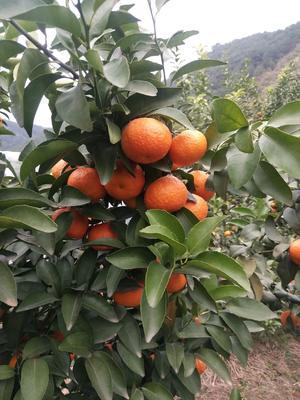 广西壮族自治区贺州市钟山县沙糖桔 4.5 - 5cm 1两以下