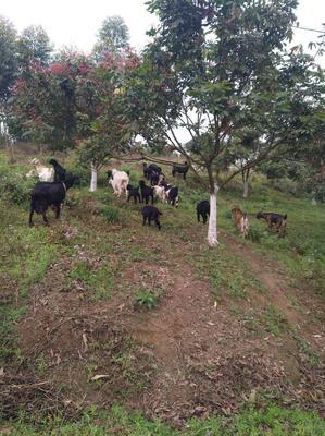 这是一张关于土羊 80-110斤的产品图片