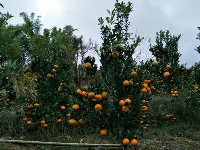 云南省普洱市景东彝族自治县黄橘子 5.5 - 6cm 1.5 - 2两