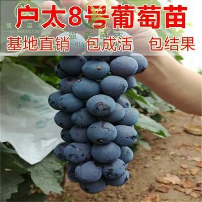 这是一张关于户太八号葡萄苗的产品图片