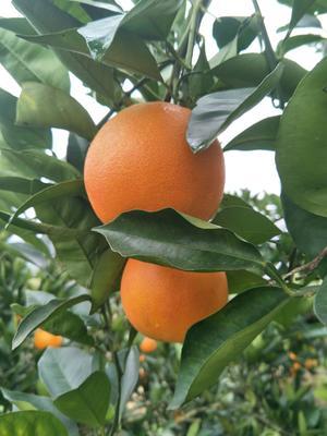 这是一张关于玫瑰香橙 65 - 70mm 4-8两的产品图片