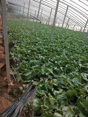 这是一张关于结球生菜 1斤以上的产品图片