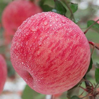 陕西省延安市宜川县红富士苹果 80mm以上 条红 纸袋