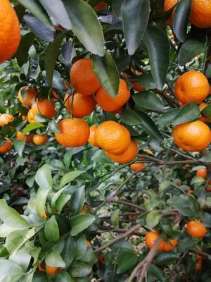 广西壮族自治区来宾市象州县沙糖桔 3 - 3.5cm 1 - 1.5两