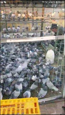 这是一张关于信鸽 500-600克的产品图片