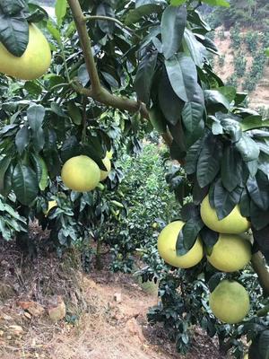 这是一张关于红心柚 3斤以上 的产品图片