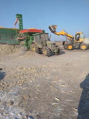 黑龙江省佳木斯市同江市玉米湿粮 杂质很少 水份17%-20%