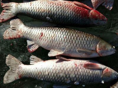 这是一张关于白鱼鲫鱼胖头鱼 野生 1-1.5公斤的产品图片