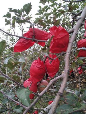 陕西省延安市洛川县洛川苹果 75mm以下 条红 纸袋