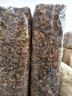 上海闵行区棕褐色帽茶树菇 10~12cm 未开伞 干茶树菇