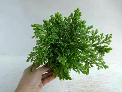这是一张关于珊瑚蕨的产品图片