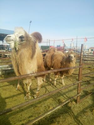 内蒙古自治区锡林郭勒盟锡林浩特市双峰驼