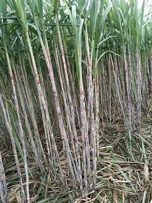 这是一张关于甘蔗原汁红糖的产品图片