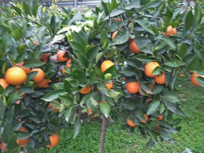 这是一张关于塔罗科血橙 55 - 60mm 4两以下的产品图片