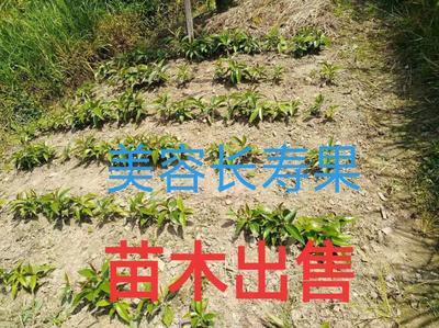 广西壮族自治区桂林市资源县粉红 900g以上