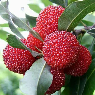 这是一张关于东魁杨梅树苗的产品图片