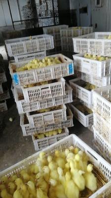 这是一张关于白鹅苗的产品图片