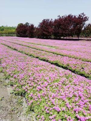 四川省成都市温江区红三叶 红花醡浆草 三叶草
