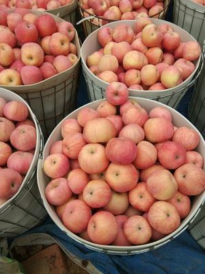 辽宁省葫芦岛市绥中县红富士苹果 75mm以上 条红 纸袋