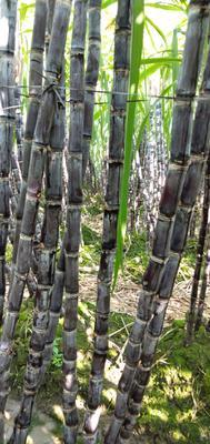 这是一张关于黑皮甘蔗 5 - 6cm 2 - 2.5m的产品图片