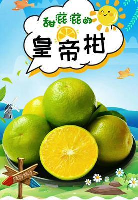 广西壮族自治区钦州市灵山县皇帝柑 3.5 - 4cm 2 - 3两
