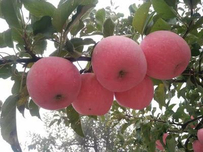 陕西省延安市延长县红富士苹果 75mm以上 条红 纸袋