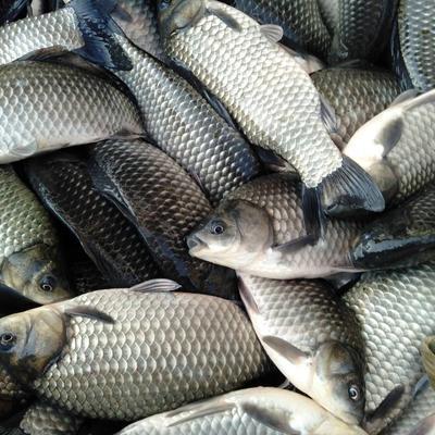 上海浦东新区池塘鳊鱼 人工养殖 1-1.5公斤