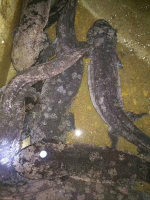 陕西省汉中市城固县娃娃鱼人工养殖 5-10斤
