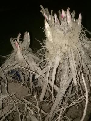 山东省菏泽市牡丹区白花芍药 0.5米以下 2~4cm