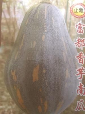 广东省江门市开平市香芋南瓜种子 种子