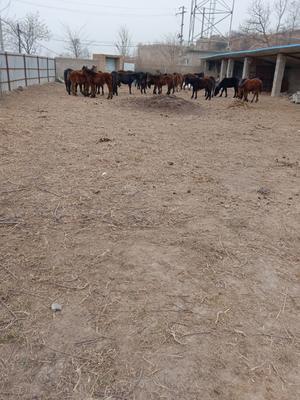 甘肃省陇南市礼县肉马 200-400斤