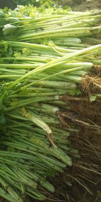 安徽省蚌埠市怀远县香芹 45~50cm 0.5斤以下 大棚种植