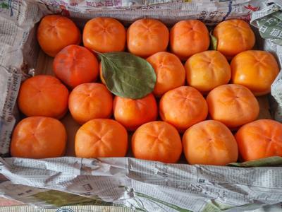 黑龙江省黑河市嫩江县磨盘柿子 4 - 5两以上