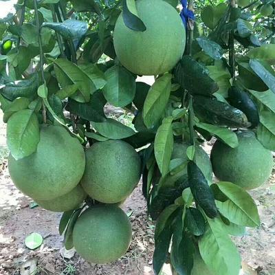 泰国青柚苗