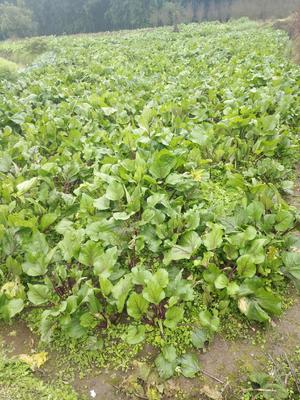 重庆璧山区红菜苔 15~20cm