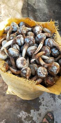 云南省红河哈尼族彝族自治州弥勒市白肉慈菇 20~30g