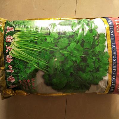 河北省保定市蠡县香菜种子