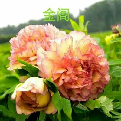 山东省滨州市邹平县观赏牡丹 0.5~1米 2~4cm 4cm以下