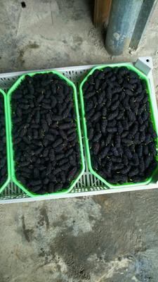 广东省汕头市潮阳区广东桑  2 - 3cm 乌黑甜大桑榆