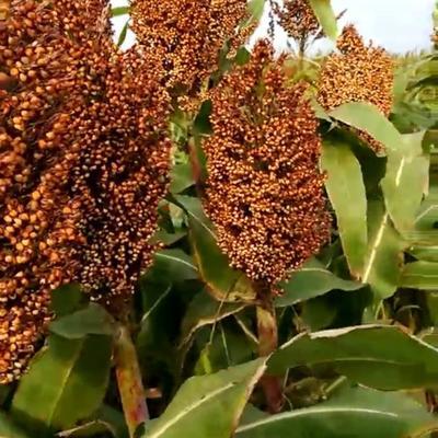 河北省沧州市青县红高粱种 ≥90% 杂交种