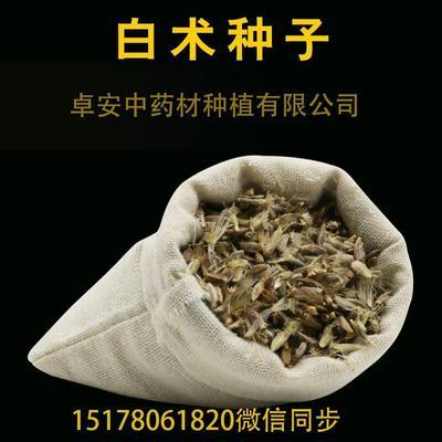 安徽省亳州市谯城区白术  改良白术种 新采白术
