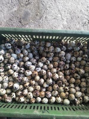 安徽省蚌埠市怀远县白羽鹌鹑蛋 食用 箱装