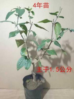 江苏省宿迁市沭阳县素心腊梅 0.5米以下
